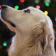 Dog in front of Christmas lights